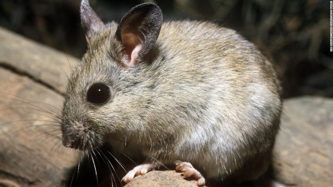 The plains rat, which mainly feeds on seeds, lives among grasslands and low shrublands.