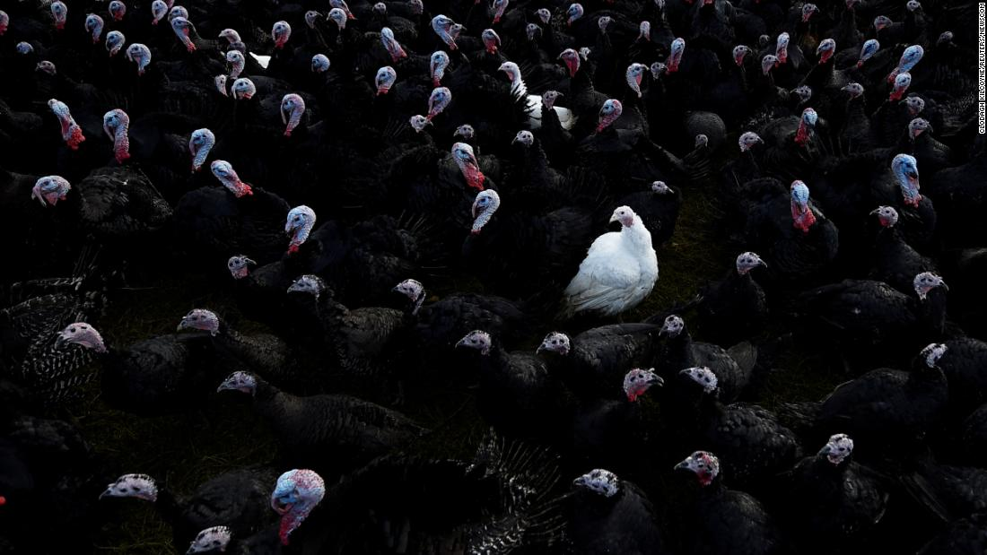 A white Bronze turkey is seen amongst Norfolk black turkeys at a turkey farm in Termonfeckin, Ireland, on Sunday, November 26.