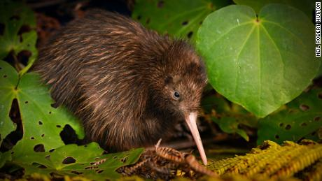 The northern brown kiwi has been moved from 'endangered' to 'vulnerable.'