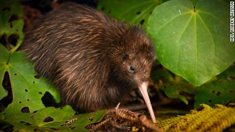 The northern brown kiwi has been moved from 'endangered' to 'vulnerable,' with increasing populations.