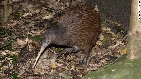There are now 17,700 mature individuals of the Northern Brown kiwi species in New Zealand.