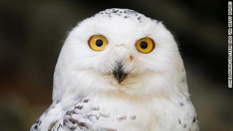 The Snowy Owl has been classed from  'Least Concern' to 'Vulnerable' for the first time.