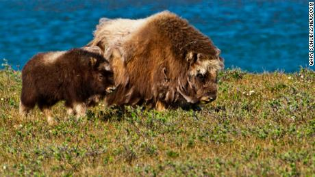 Musk oxen walk among dwarf willows along the bank of the Sagavanirktok River in Alaska's North Slope.