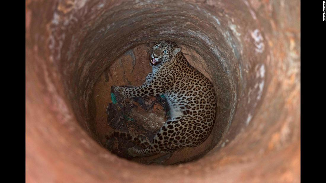 A leopard looks up from a deep well it fell into on the outskirts of Gauhati, India, on Wednesday, December 13. The leopard was rescued and sent to a state zoological park.
