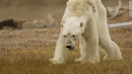 Starving polar bear video Paul Nicklen cnni_00000000.jpg
