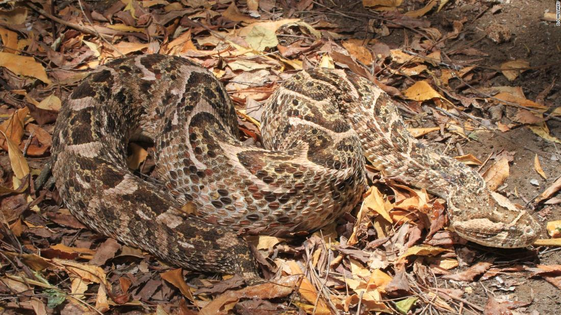 Known for its loud warning hiss, the puff adder is found across Africa. Its potent venom causes massive tissue damage.