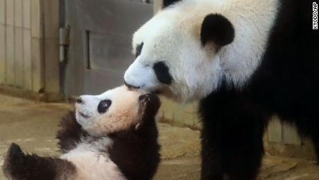 Giant panda cub Xiang Xiang, left, is pulled by her mother Shin Shin at Ueno Zoo in Tokyo Tuesday, Dec. 19, 2017.  Xiang Xiang, or Fragrance in Chinese, a 6-month-old female giant panda, made a debut Tuesday in a limited public viewing for avid fans who obtained tickets through a highly competitive lottery process.  (Kyodo News via AP)