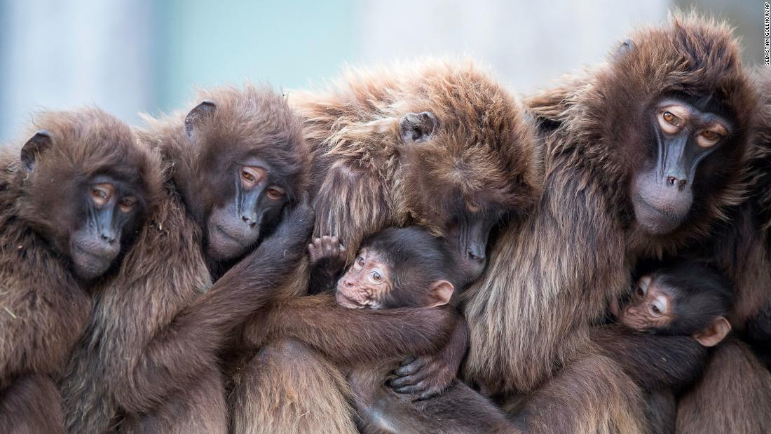 "Several female geladas cuddle with their young to keep warm Wednesday, January 3, at the Wilhelma zoo in Stuttgart, Germany. <a href=""http://www.cnn.com/2017/12/28/world/gallery/week-in-photos-1229/index.html"" target=""_blank"">See last week in 20 photos</a>"