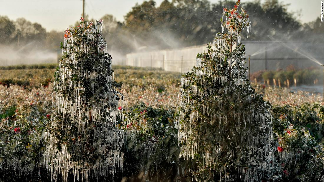 A thin layer of ice covers ornamental plants on January 4 in Plant City, Florida. Temperatures in central Florida dipped to below freezing. Growers spray water on the plants to help protect them from extreme cold.