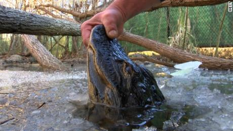 Alligators get a nose up on icy conditions  http://www.wect.com/story/37213619/alligators-get-a-nose-up-on-icy-conditions