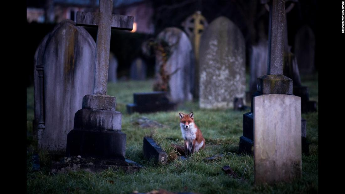 A fox in Bath, England, walks through a cemetery at dusk on Wednesday, January 10.
