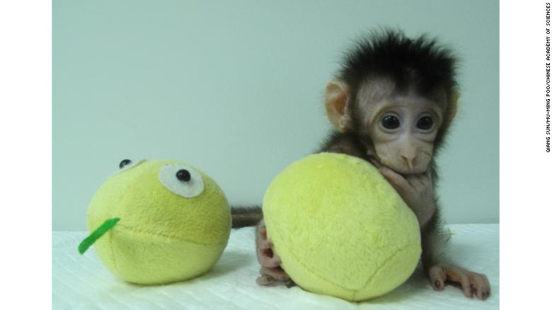 Scientists say the monkeys are much like human babies who get more active every day