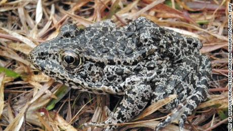 The Dusky Gopher Frog, once known as the Mississippi Gopher Frog, has an average length of about three inches and a stocky body with colors on its back that range from black to brown or gray and is covered with dark spots and warts.
