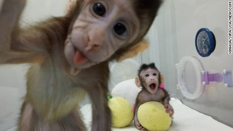 (180125) -- BEIJING, Jan. 25, 2018 (Xinhua) -- File photo provided by the Chinese Academy of Sciences shows two cloned macaques named Zhong Zhong and Hua Hua at the non-human-primate research facility under the Chinese Academy of Sciences. China on Thursday announced it successfully cloned world's first macaques from somatic cells by method that made Dolly.  (Xinhua) (dhf) (Photo by Xinhua/Sipa USA) (Newscom TagID: sipaphotosseven761772.jpg) [Photo via Newscom]