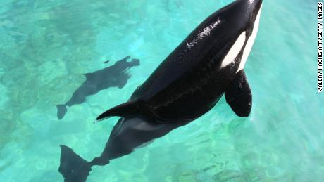 Female orca Wikie swims with her calf born by artificial insemination on April 19, 2011 at Marineland animal exhibition park in the French Riviera city of Antibes, southeastern France.