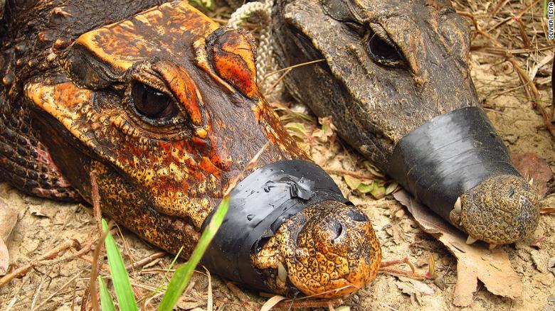 Les crocodiles orange des cavernes d'Abanda au Gabon