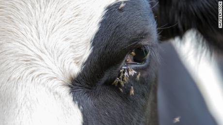 """""""Face flies"""" gathered around a cow's eye."""