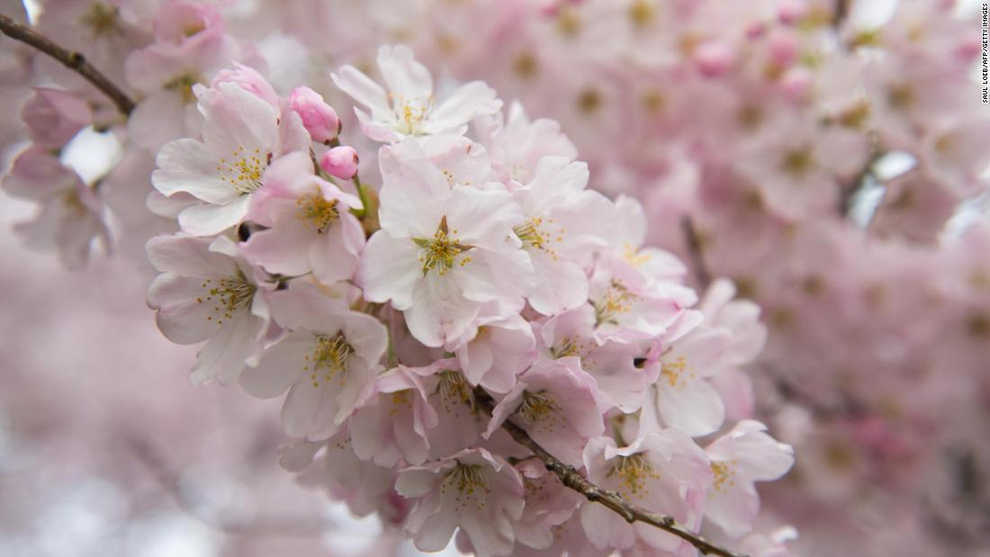 Spring brings cherry blossoms