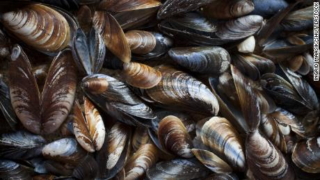 Mussels in Washington's Puget Sound test positive for opioids, other drugs