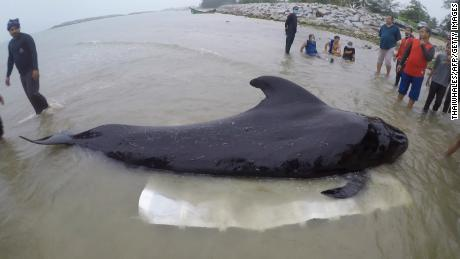 Sick whale with dozens of plastic bags in stomach dies