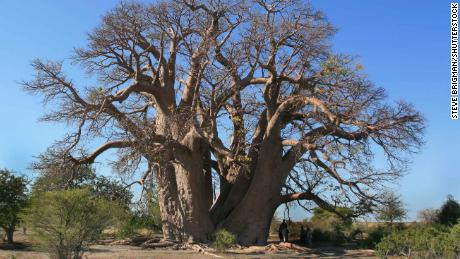 The Chapman baobab tree in Botswana which collapsed in 2016