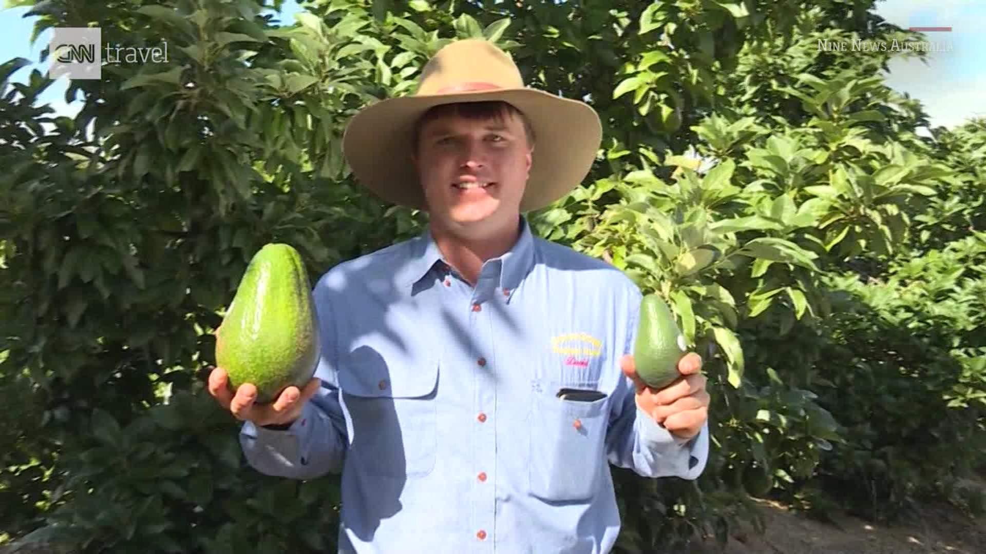 Giant avocados on sale in Australia