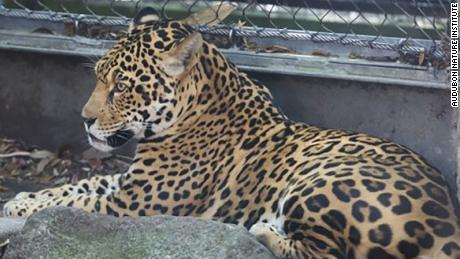 The jaguar was sedated and returned to its area zoo officials said
