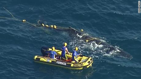 Three members from the Queensland Boating and Fisheries Marine Animal Release Team cut the whale free from shark net