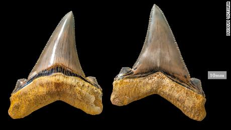 These enormous  shark teeth belonged to the megalodon's cousin