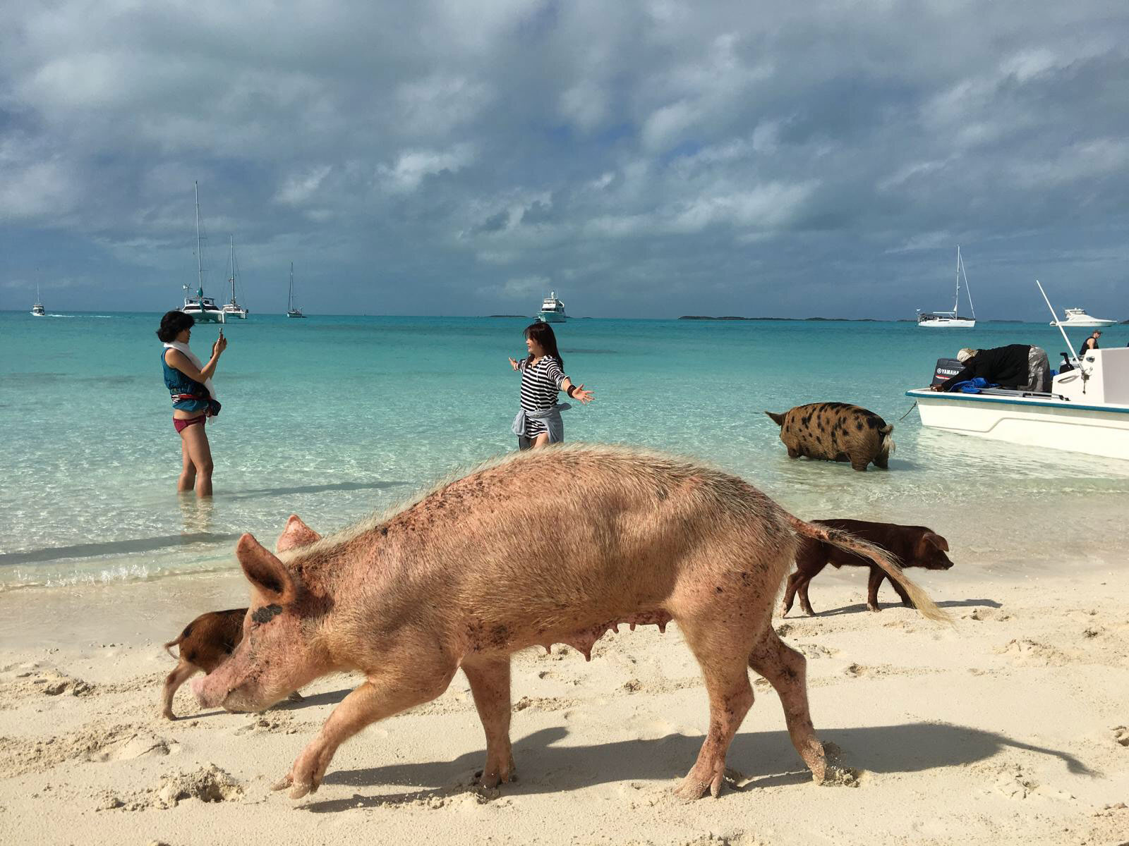 Bahamas' swimming pigs head to boats in hopes of food | CNN Travel