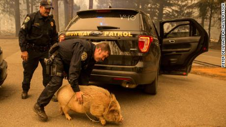 California Highway Patrol officers came to the aid of this potbelly pig they rescued in Butte County as the Camp Fire continues to burn