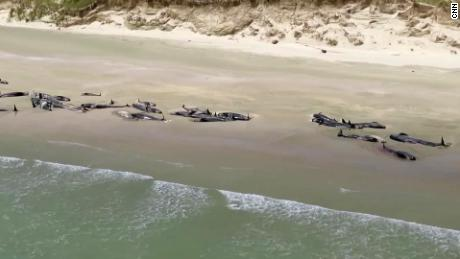 多于 140 pilot whales dead after mass stranding in New Zealand