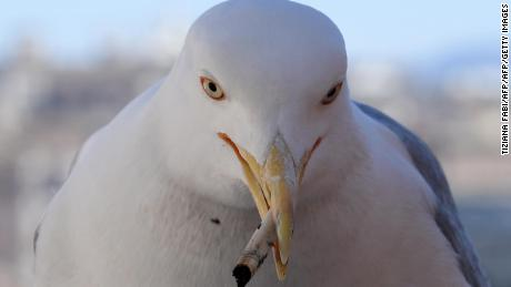 A seagull in Rome mistakes a cigarette butt for something edible.