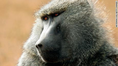 Une étude montre que les coeurs de porc peuvent fonctionner pendant des mois chez des babouins, ce qui nous rapproche de leur utilisation chez l'homme