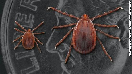 Two Asian long-necked mites: Dead or immature ticks on the left and an adult female.