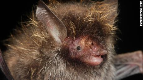 A bat whose hair bears a likeness to Lance Bass' iconic frosted tips of the band *NSYNC, was discovered in the sub-Himalayan habitat of the Myanmar's Hkakabo Razi forest.