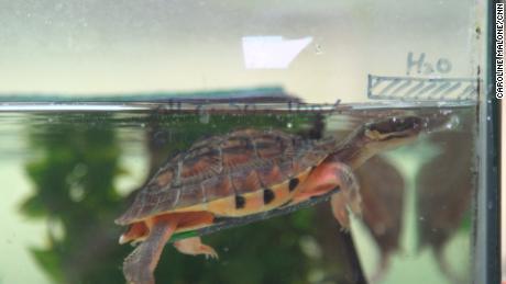 A pesar de estar protegido por la ley, las lagunas legales permiten que las tortugas de moneda dorada se vendan en los mercados.