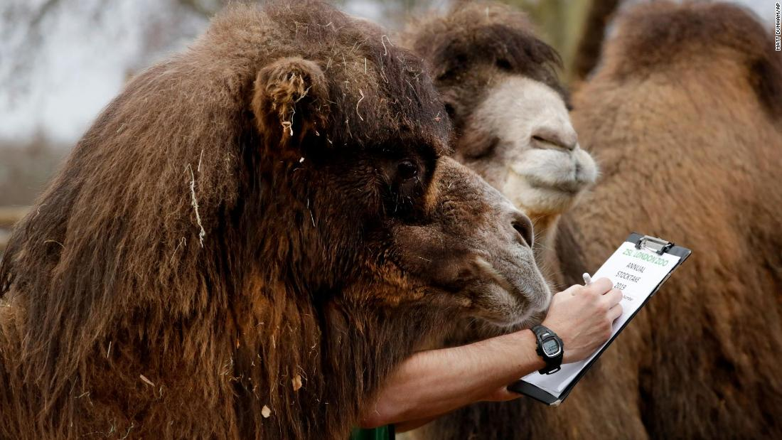 A zookeeper poses with two Bactrian camels during a publicity event for the London Zoo's annual stocktake on Thursday, January 3.
