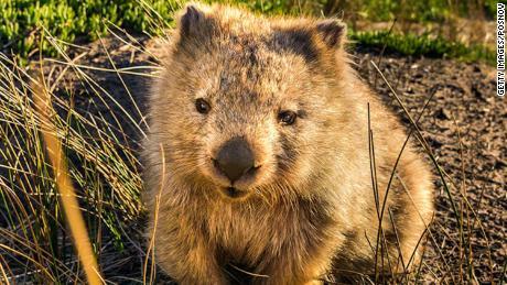 Australia wants you to stop taking wombat selfies