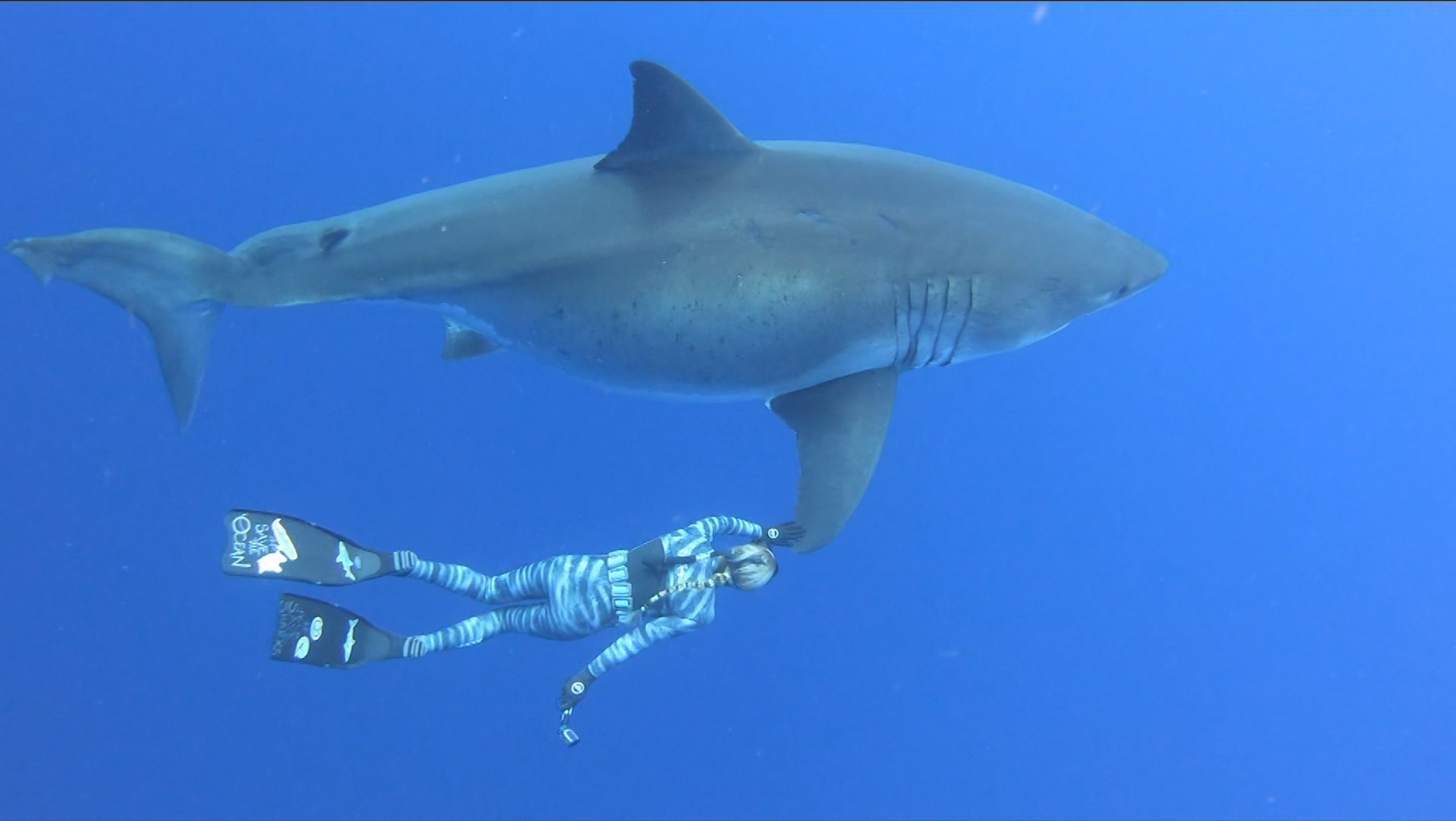 Divers swim with rare great white shark