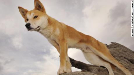 Stray puppy left in rural Australian yard found to be purebred dingo