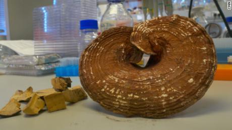 Es wird angenommen, dass der Lingzhi-Pilz die Immunfunktion unterstützt.