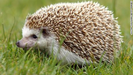 Hedgehogs May Be To Blame For Salmonella Outbreak In 8 States