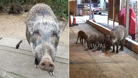 A wild boar begs passing motorists for food (left). A boar family hanging out at a petrol station (right).