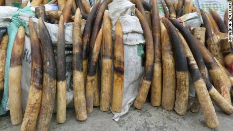 Ivory tusks seized from the raid.