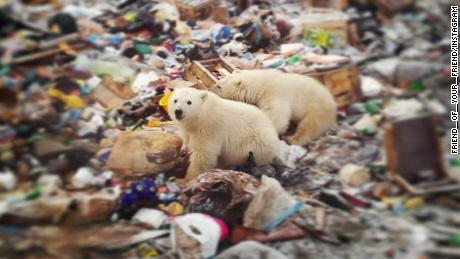 Polar bears roaming in the Russian town of Novaya Zemlya.