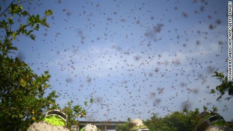 Bees swarm in the sky when Palestinian workers remove cadres from hives to collect honeycombs in the Gaza Strip.