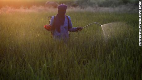 An Indian farm worker sprays pesticide on a paddy crop near Jalandhar. Pesticide use is a major contributing factor to plummeting insect numbers a recent study has found