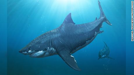 Great whites may have wiped out the biggest shark that ever lived