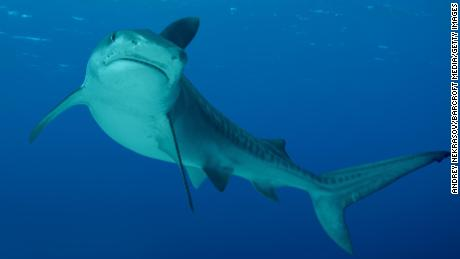 There's a rise in shark attacks, but the risk is low, study finds  Sharks have killed 7 people in Australia this year, the most since 1934. Climate change could be a factor 190226160327 tiger shark large 169  Sharks have killed 7 people in Australia this year, the most since 1934. Climate change could be a factor 190226160327 tiger shark large 169